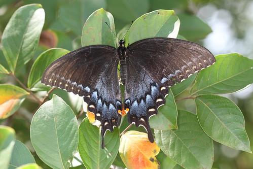 female northcarolina tigerswallowtail richmondcounty blacktigerswallowtail