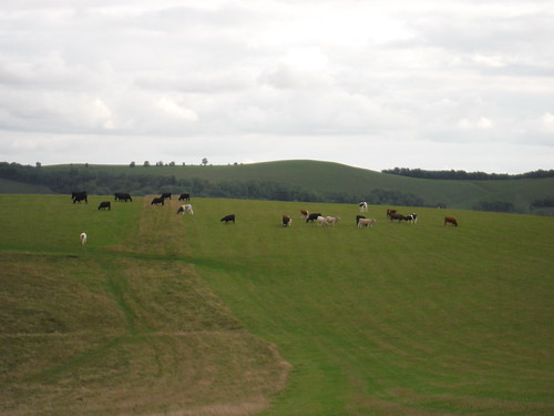 Cattle on White Sheet Hill