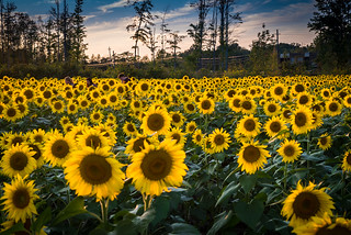 Avon Lake Sunflower Field