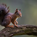 Squirrel by jajjen