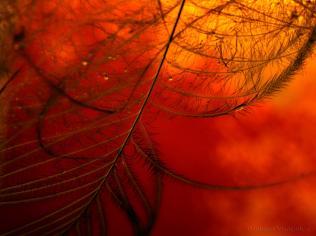 Lyrebird feather detail_2_c