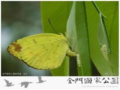 台灣黃蝶-01