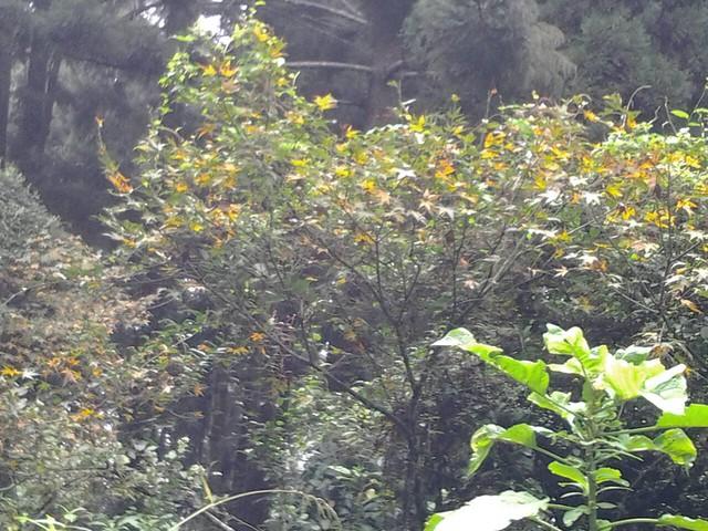 溪頭的楓葉60