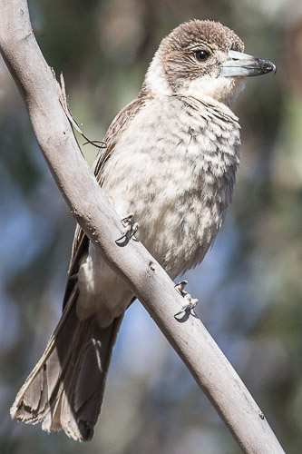 immature Grey Butcherbird