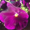 Stunning and vibrant. #pretty #pansies #flowers #flowerstagram #gardens #instaphoto #photo #newzealand #stunning #inspiration
