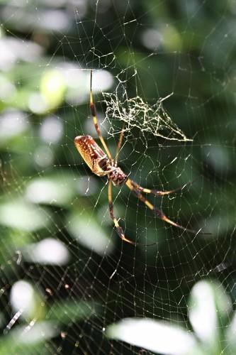 west public st spider louisiana web banana plantation oakley francisville 2015 tjean314 johnhanley feliciana allphotoscopy20052015johnhanleyallrightsreservedcontactforpermissiontouse allphotoscopy20052016johnhanleyallrightsreservedcontactforpermissiontouse