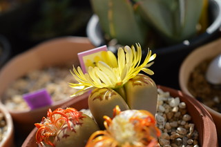 DSC_1799 Lithops dorotheae リトープス属 麗虹玉 (れいこうぎょく)