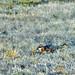 Santa Rosa Island fox, Urocyon littoralis santarosae by raphaelmazor