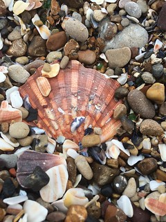 Saint Jacques, Seashell, Normandy