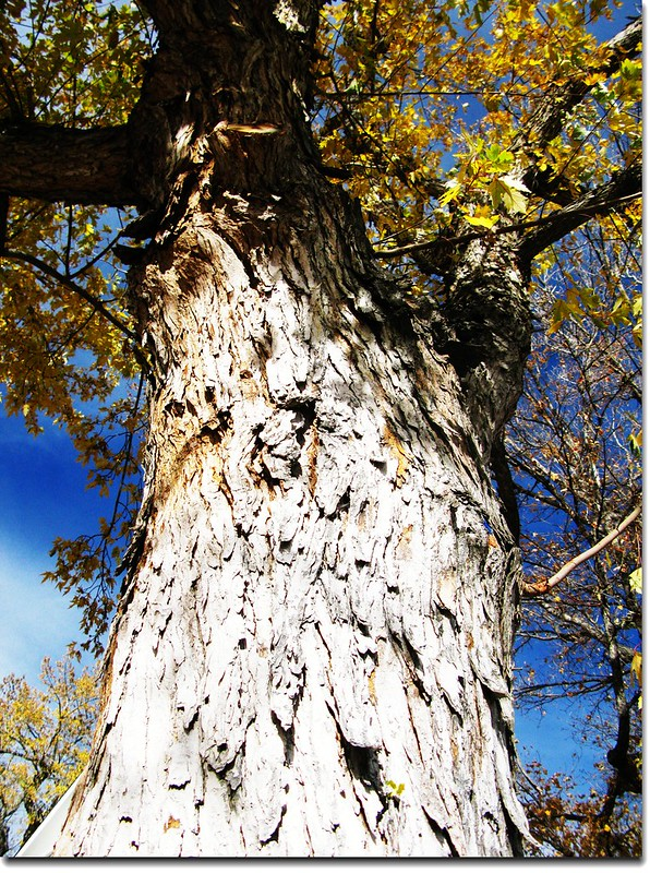 Silver maple trunk 2