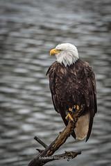 Derouche Eagle