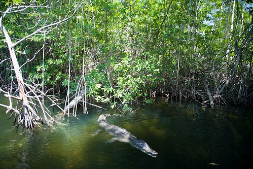 nature wildlife mangrove jamaica blackriver krokodil cariben tropischregenwoud