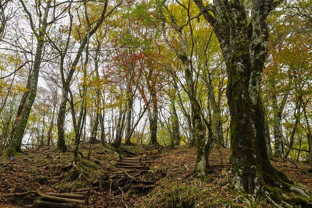 ブナやカエデの茂る鍋割山稜へ