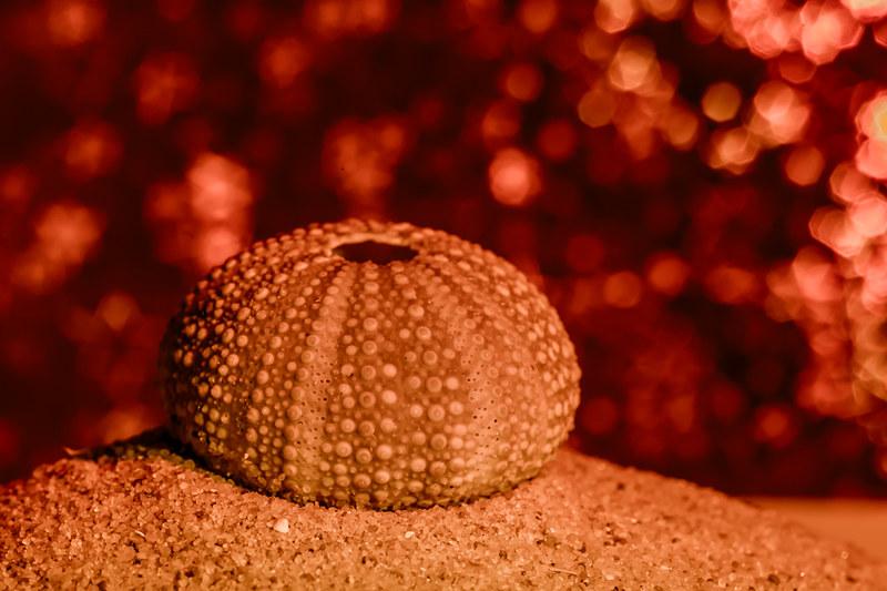 Sea Urchin-Echinus esculentus