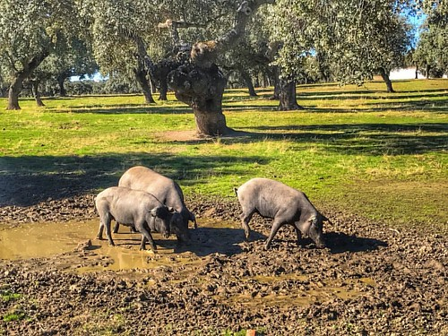 Had fun getting to know these bad boys yesterday on the #dehesadepedroches - #dehesa ##pedroches #ibericodebellota #montanera #spain #travelwithdoc
