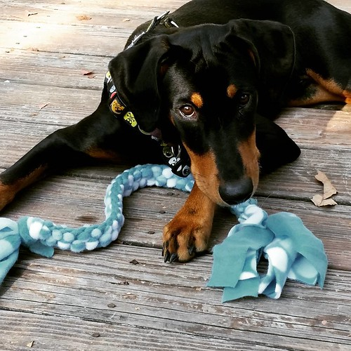 Find out how we've been #InspiredByCrafted on the blog today (link in profile) @blogpaws @hillspet #dogtoys #homemade #homemadedogtoy #puppygram #instapuppy #rescuedpuppiesofinstagram #dobermanpuppy #hillspet #puppiesofinstagram #puppytoys #puppyplaytime