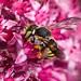 Tiny bee on sedum by wnkremer1