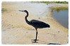 Heron on the beach by jalyns76