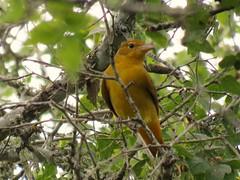 Summer Tanager (female) 9-3-15, Crescent Bend Nature Park, Schertz Texas