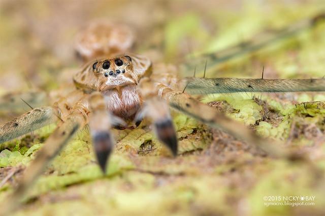 Long-legged water spider (Syntrechalea sp.) - DSC_3321