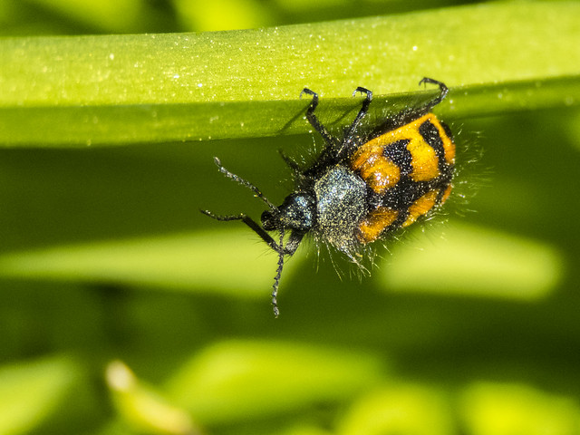 NOT an Asian Lady Beetle