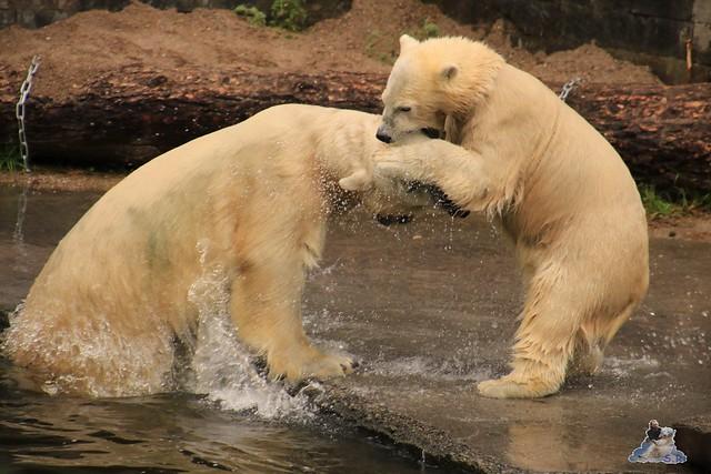 Eisbär Fiete im Zoo Rostock 05.09.2015  035