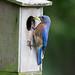 Eastern Bluebird With Grasshopper by Steve Creek