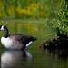 Canada Goose by sarasonntag