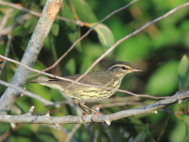 Northern Waterthrush 20151011