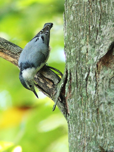 White-breasted Nuthatch 2-20150926