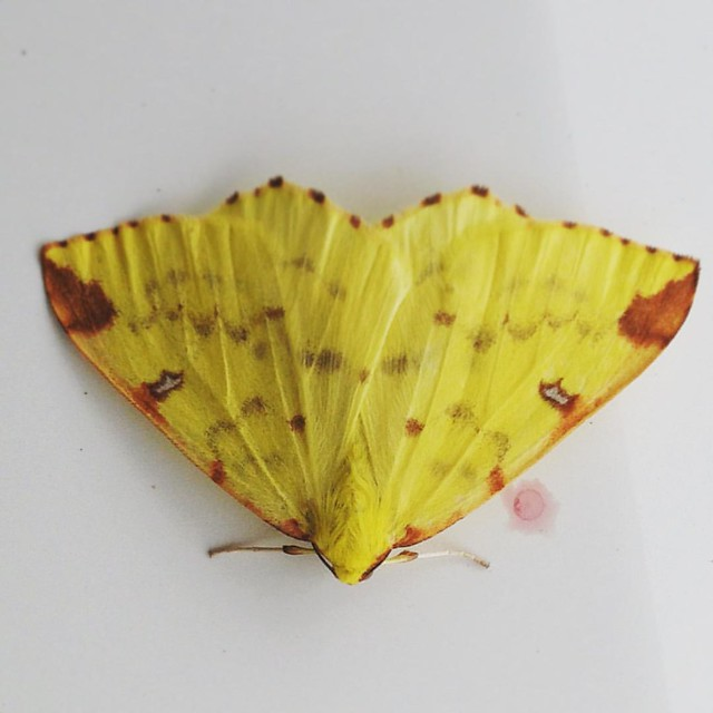 One of my favourites, the very aptly named Brimstone. #moths #mothsofinstagram