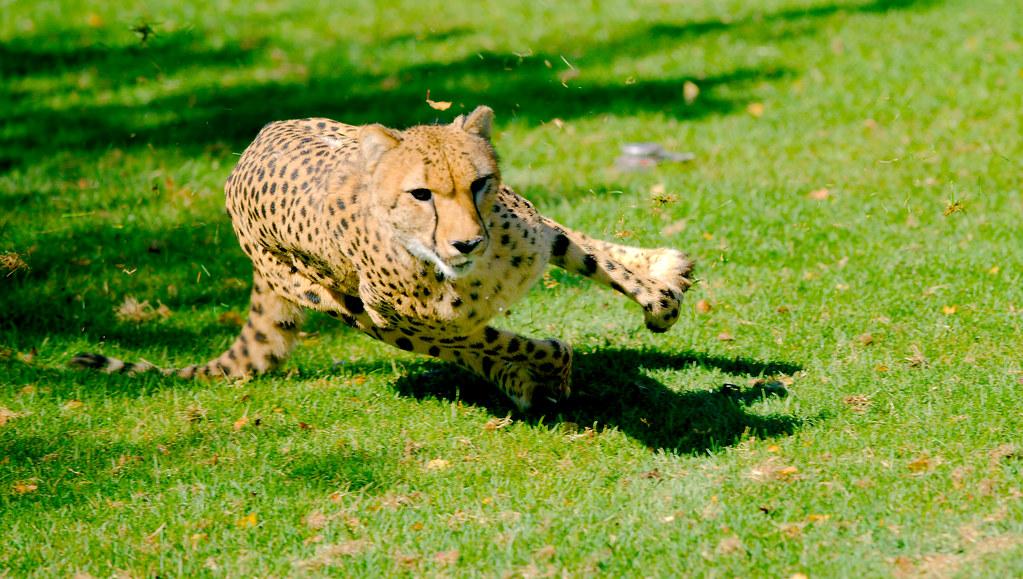 Cheetah_12