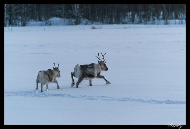 Laponia Tankavaara aurora boreal - Renos caminando