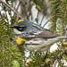 IMG_8302 Yellow-rumped Warbler