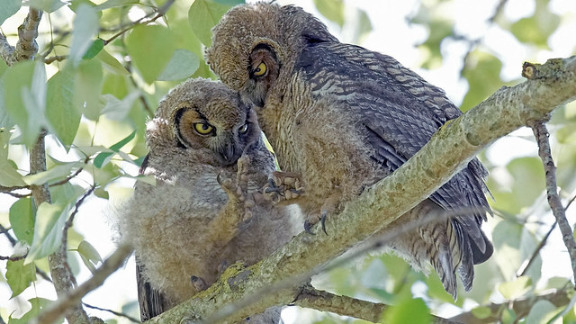 Owlets playing Rock, Paper, Sony ILCA-77M2, Sony 500mm F4 G SSM (SAL500F40G)