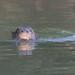 Neotropical Otter, Lontra Longicaudis. by jwsteffelaar