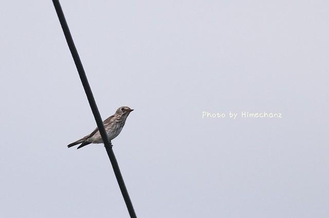 電線にも小鳥!