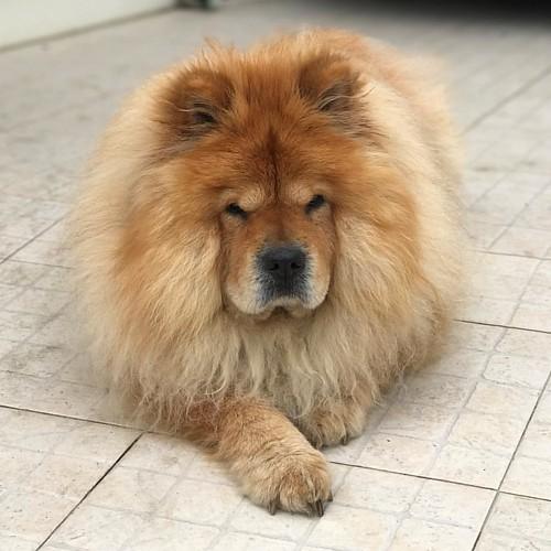Pensando…! 😍 #chowchow #chowchowpuppy #mascota #perro #dog #cão