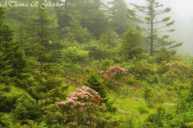 Mountain Laurel in Mist