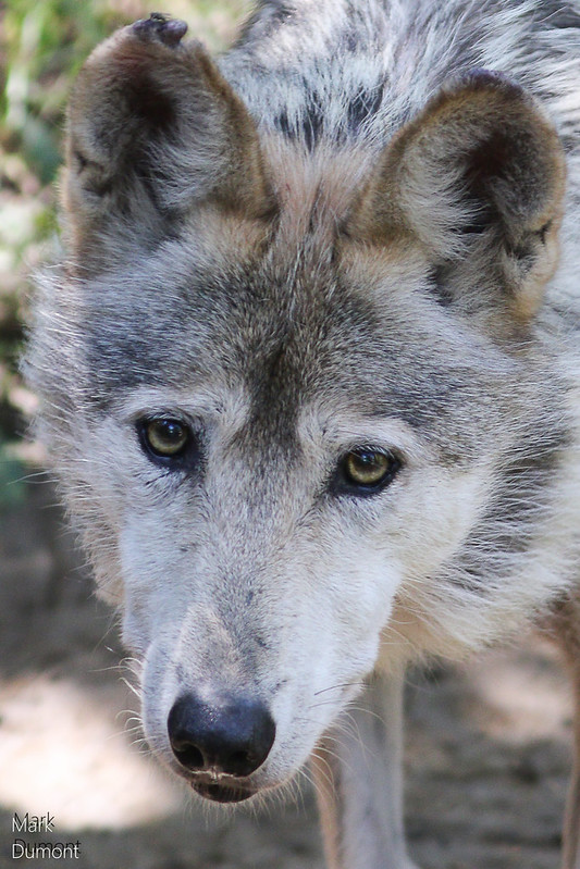 Mexican Wolf Closeup