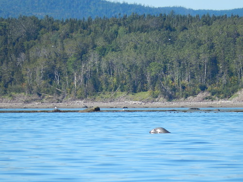 Paradis Marin - kayak - grey seal