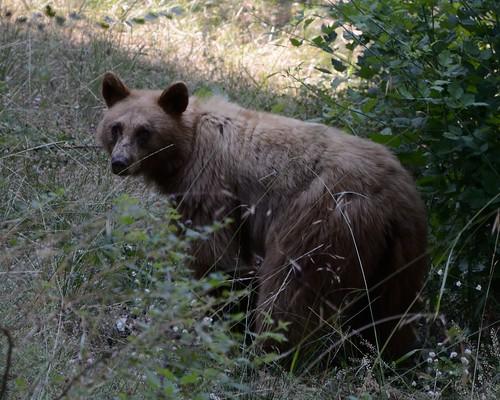 Bear Eating Raspberries #1