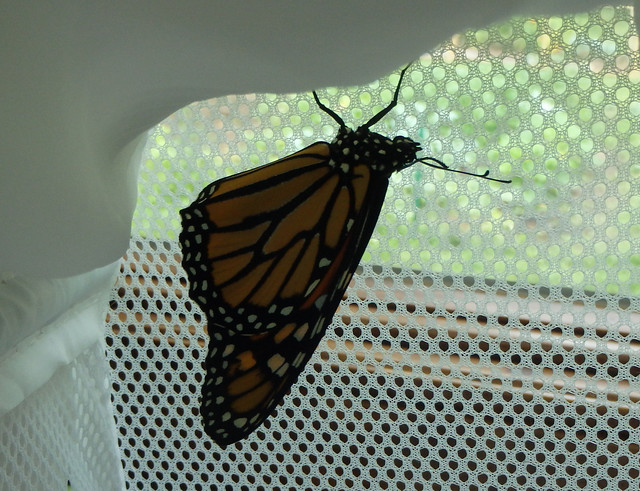 monarch in a hamper looking out the window