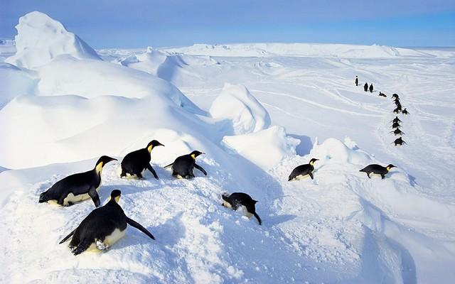 Penguin (3)