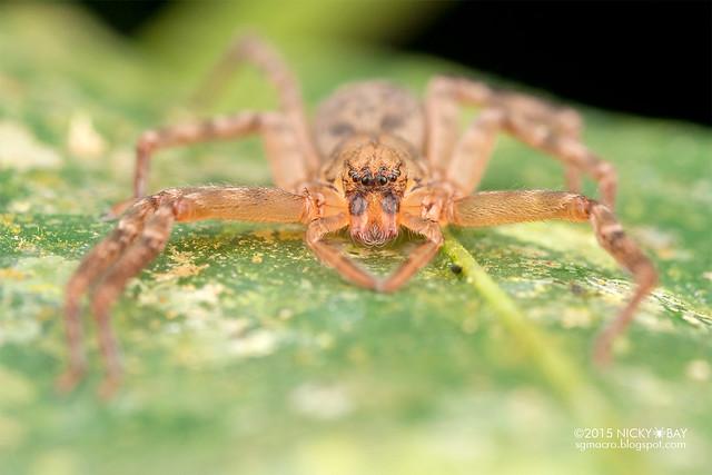 Huntsman spider (Thelcticopis sp.) - DSC_2497