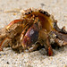Hermit Crab, CaptiveLight, Liberty's Owl, Raptor and Reptile Centre, Hampshire UK