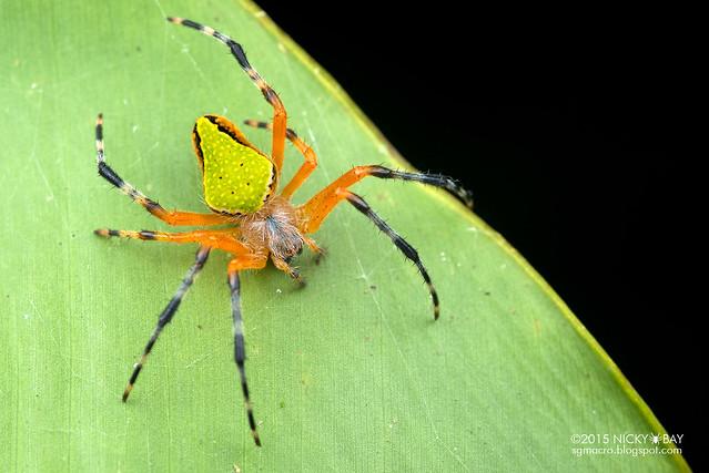 Orb weaver spider (Eriophora nephiloides) - DSC_8007