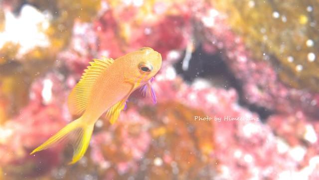 こんなところに、スミレナガハナダイ幼魚ちゃん♪