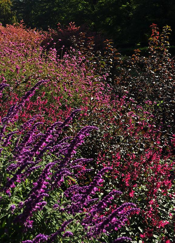 Flower Garden Walk - Salvia leucantha (2)