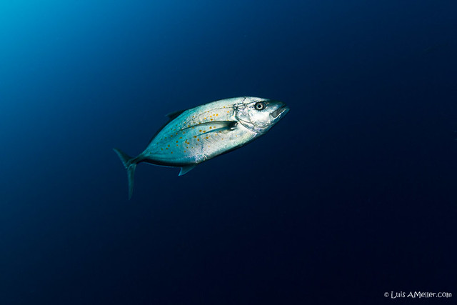 Red Sea Jack Fish Caranx
